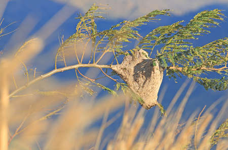 The per capita tiger,nest in nature Stock Photo