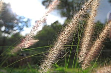 Beautiful grass flower under warm sunlight Stock Photo