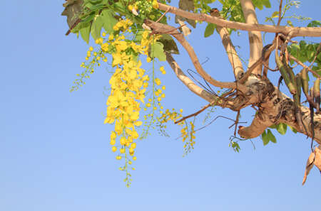 the cassia flower and blue sky  background