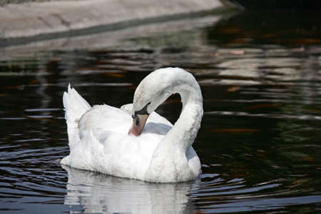 Image of a white swan on water. Wildlife Animals