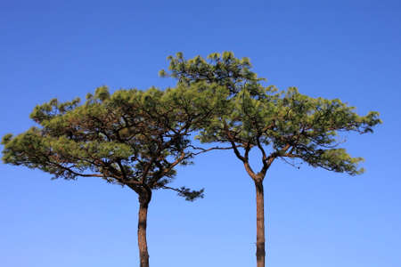 Pine with the clear blue sky background