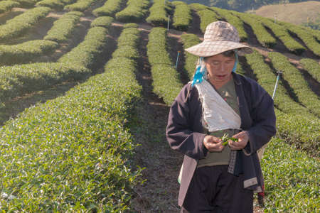 15 FEBRUARY 2013,Chiang Rai,Thailand:Workers collecting tea in tea Editorial