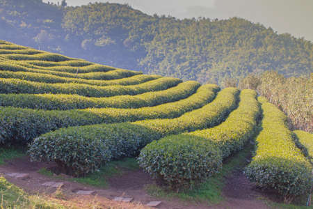 Tea plantations in natural areas in northern Thailand