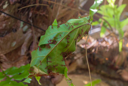 Many red ants are helping to make a nest on the green leaves