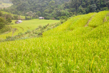Rice fields are blooming in Thailand Stock Photo