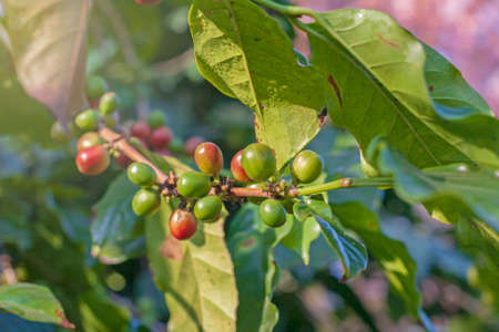 fresh Coffee bean on coffee tree in farm northern Thailand