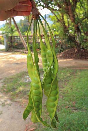 hand hold Petai or Sataw of the genus Parkia Speciosa in bucnh