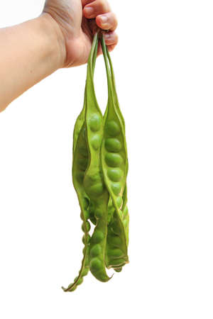 hand hold Petai or Sataw of the genus Parkia Speciosa in isolated white background. Stock Photo