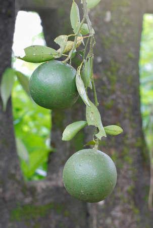 Shogun Oranges on the tree before harvesting