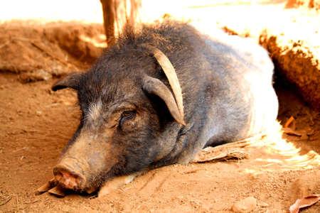 jabali: cerdo salvaje