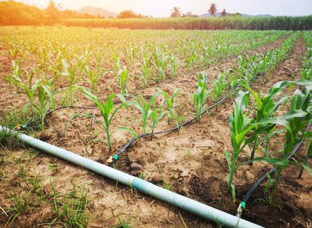 Campo de maíz en el campo Con sistema de riego por goteo Es un recurso agrícola económico.
