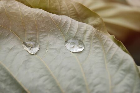 Clear water drops on dry brown leaves In warm natural tones. Stock fotó