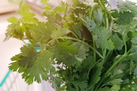 Coriander is loaded with antioxidants and Herbs suitable for eating fresh Has a unique aloma smell . Stock fotó - 131008508
