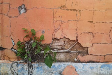 The orange brick wall was damaged and cracked. Because of the growth of the tree.