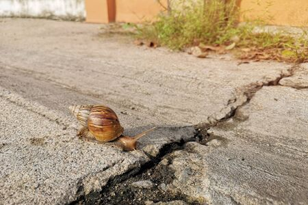Asian snails walk on the cement floor with cracks.The hot weather.