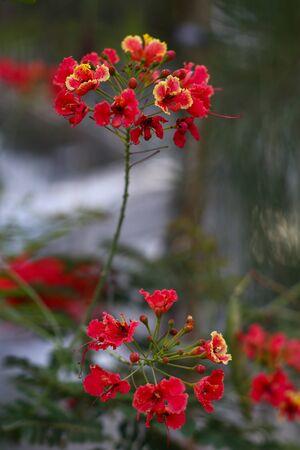 pulcherrima: Caesalpinia pulcherrima Sw Archivio Fotografico