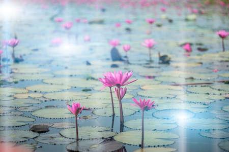 nenuphar: lotus flower background
