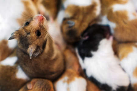 selective focus cute dwarf hamster