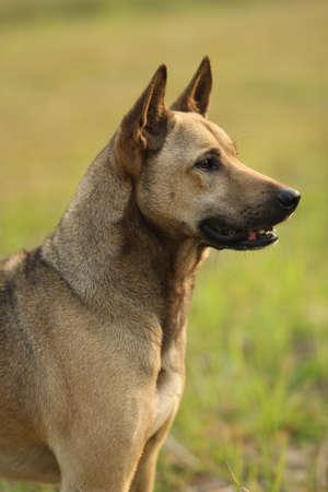 watchdog: brown dog on the field