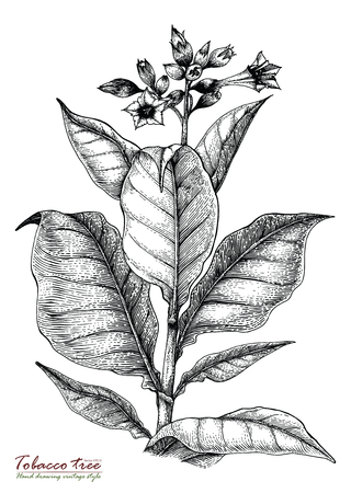 Tobacco tree hand drawing vintage style