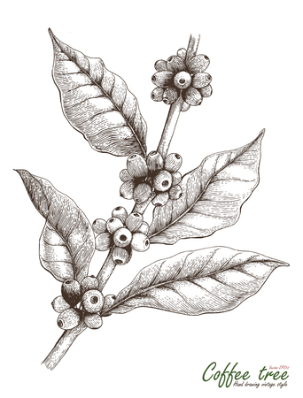 Coffee tree hand drawing vintage style