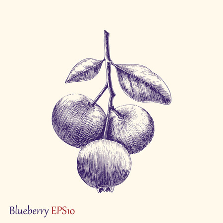 Blueberry hand drawing