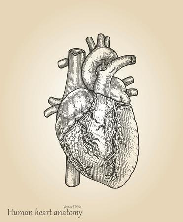 Human Heart Amatomyheart Hand Drawing Vintage Style Royalty Free