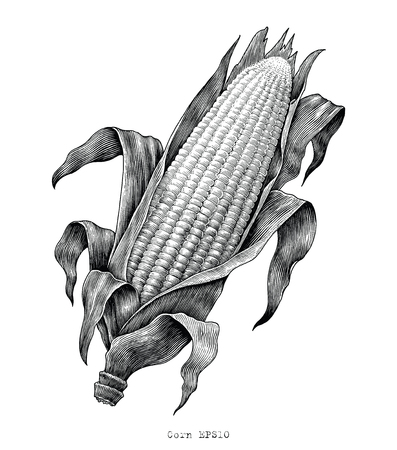 Corn hand drawing vintage engraving illustration Иллюстрация