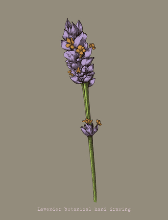 Lavender botanical hand drawing autique style 向量圖像