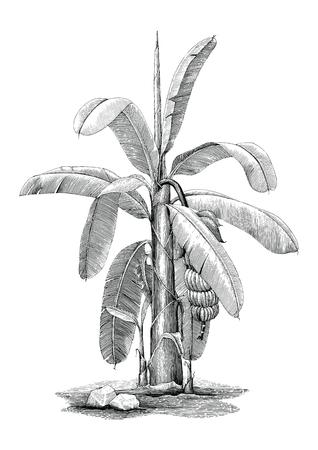 Banana tree botanical hand drawing vintage clip art Иллюстрация