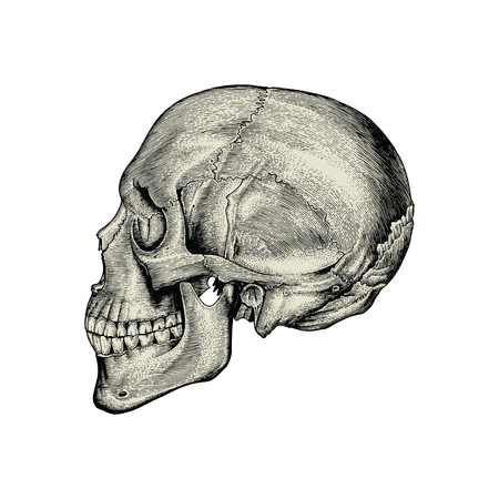 Anatomy skull hand drawing vintage,Lateral view of human skull Standard-Bild - 121826715