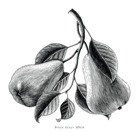 Pears fruit hand drawing vintage engraving illustration on white background