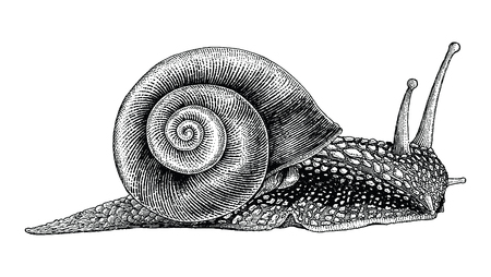 Snail hand drawing vintage style