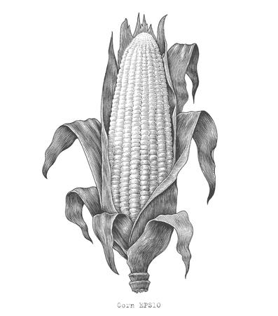 Corn hand drawing vintage engraving illustration