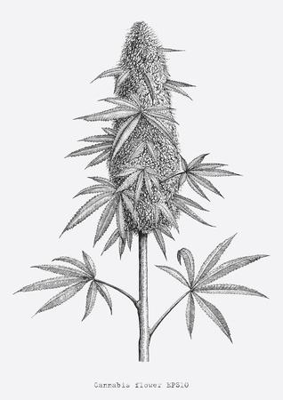 Cannabisblumenhandzeichnung Vintage Gravurart Isolat auf weißem Hintergrund