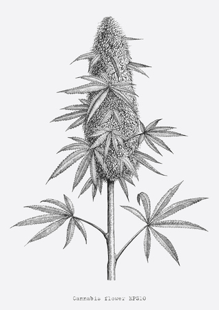 Main de fleur de cannabis dessin style de gravure vintage isoler sur fond blanc