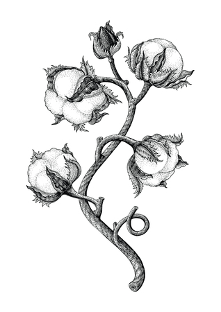 Cotton plant hand drawing vintage engraving style isotale on white background