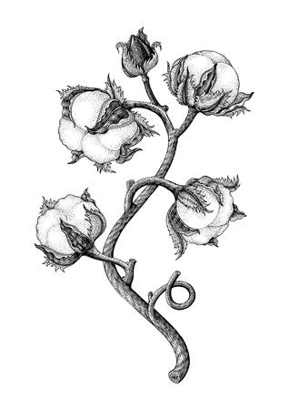 Planta de algodón dibujo a mano alzada, estilo de grabado vintage isotale sobre fondo blanco. Ilustración de vector