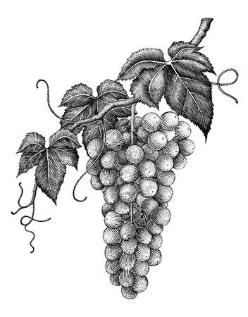 Traubenzweig-Handzeichnungsgravurweinlese lokalisiert auf weißem Hintergrund