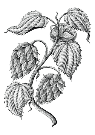 Hops vintage drawing by ink isolated on white background Vettoriali