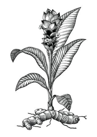 Tumeric botanical hand drawing engraving vintage illustration Illustration