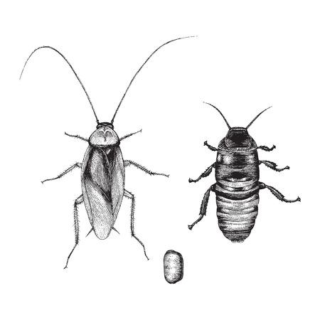 Cockroach hand drawing vintage style Standard-Bild - 102872747