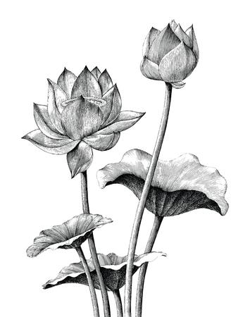 Main de fleur de lotus dessin style de gravure vintage Vecteurs