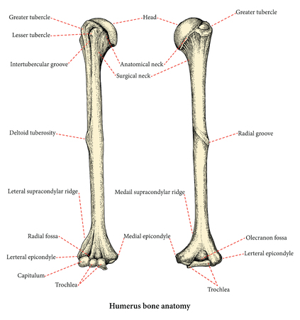Anatomy of upper human arm bones hand drawing vintage style,Human humerus
