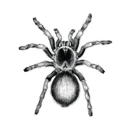 Araña tarántula dibujo a mano ilustración de grabado vintage, diseño de tatuaje de araña tarántula
