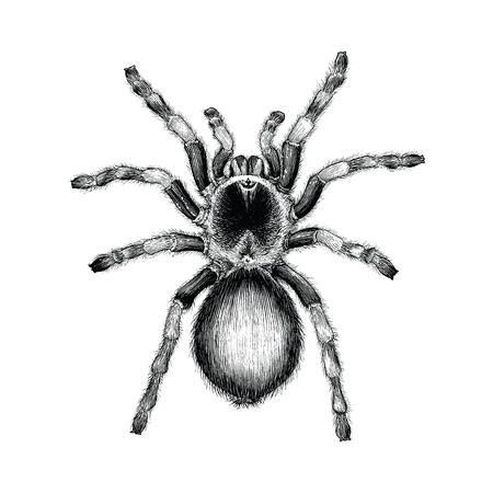Tarantola spider disegno a mano vintage illustrazione incisione, Tarantula spider tattoo design