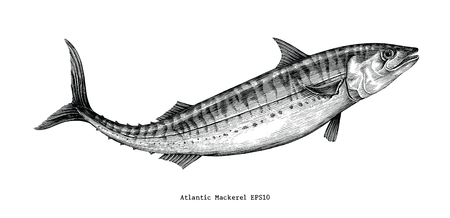 Atlantic mackerel hand drawing vintage style