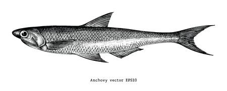 Anchovy hand drawing engraving illustration Standard-Bild - 102872894