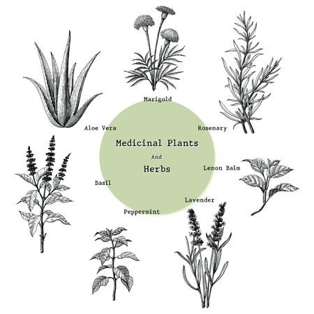 Plantas y hierbas medicinales dibujo a mano ilustración de grabado vintage