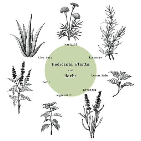 Medicinal plants and herbs hand drawing vintage engraving illustration Illustration